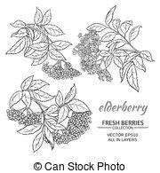 Elderflower Illustrations and Clip Art. 23 Elderflower royalty.