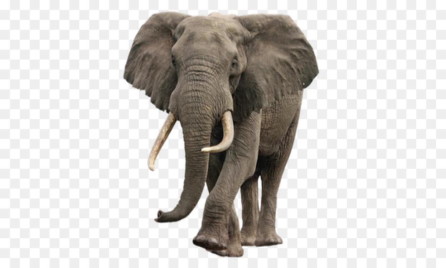 Elefante Asiático, Elefante Africano De Sabana, Elefante imagen png.
