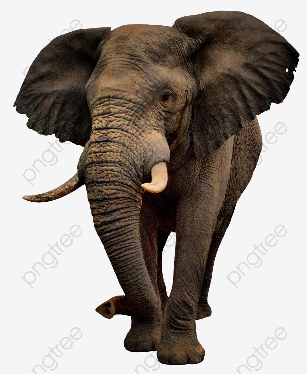 A Pie De Elefante, Como, Elefante, Elefante Africano Imagen PNG para.