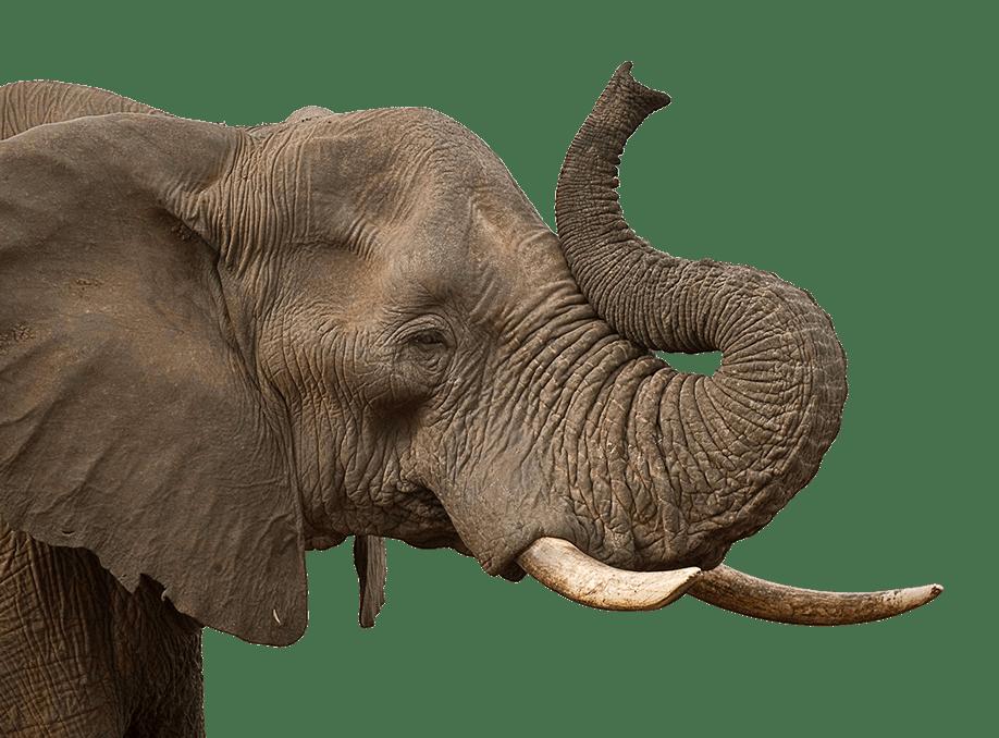 Trompa de Elefante PNG transparente.