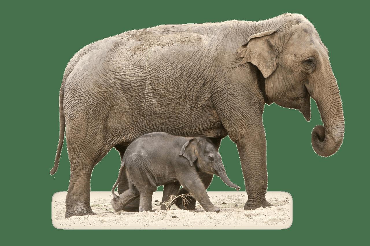 Elefante Madre y Becerro PNG transparente.