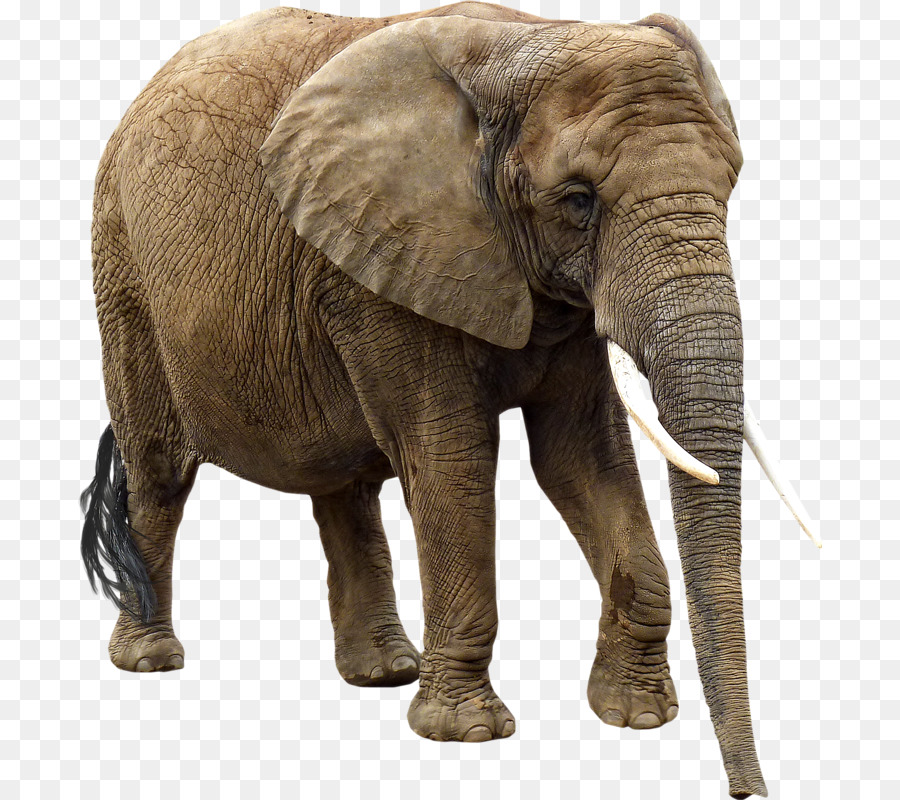 Elephant Background png download.