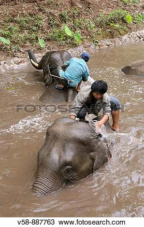 Stock Photo of Elephant bath, Mekong Elephant camp, Pakbeng.