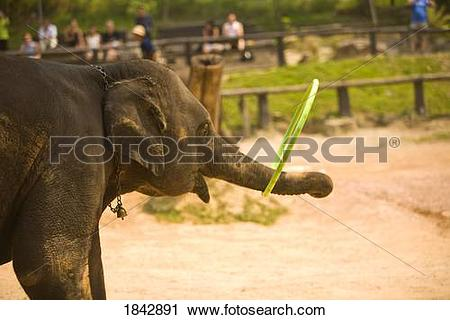 Stock Photography of Chiang Mai,Thailand;Elephant Playing With A.