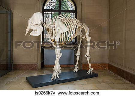 Picture of Elephant skeleton in a museum is0266k7v.