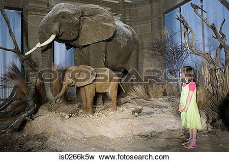 Picture of Girl looking at elephants in a museum is0266k5w.