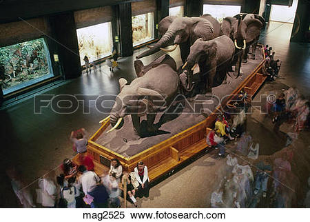 Stock Image of African elephant exhibit American Museum of Natural.