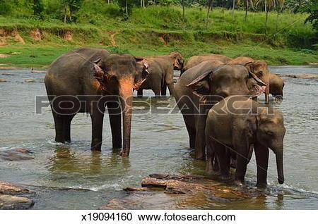 Stock Photography of Asian Elephants at Pinnawela Elephant.