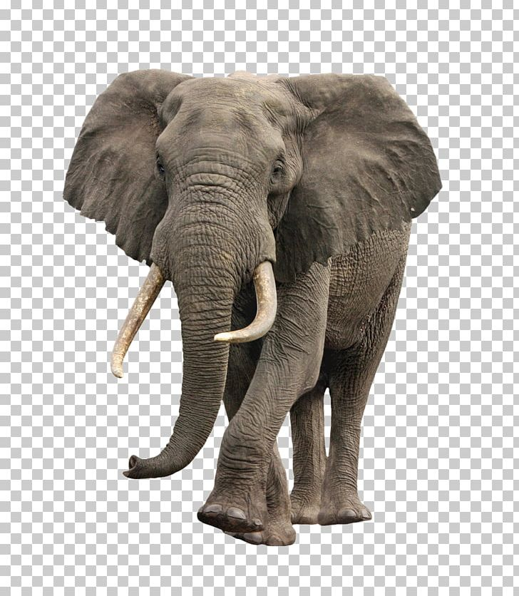 African Bush Elephant PNG, Clipart, African Elephant, African Forest.