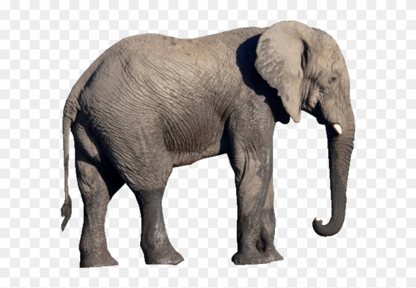 Free Png Download Elephant Png Images Background Png.