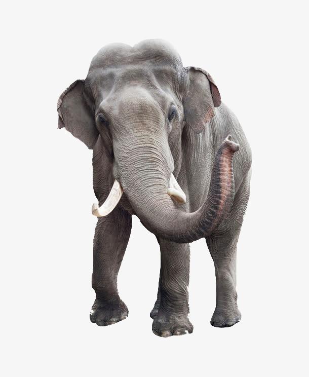 Elephant, Elephant Clipart, Gray Elephan #50559.