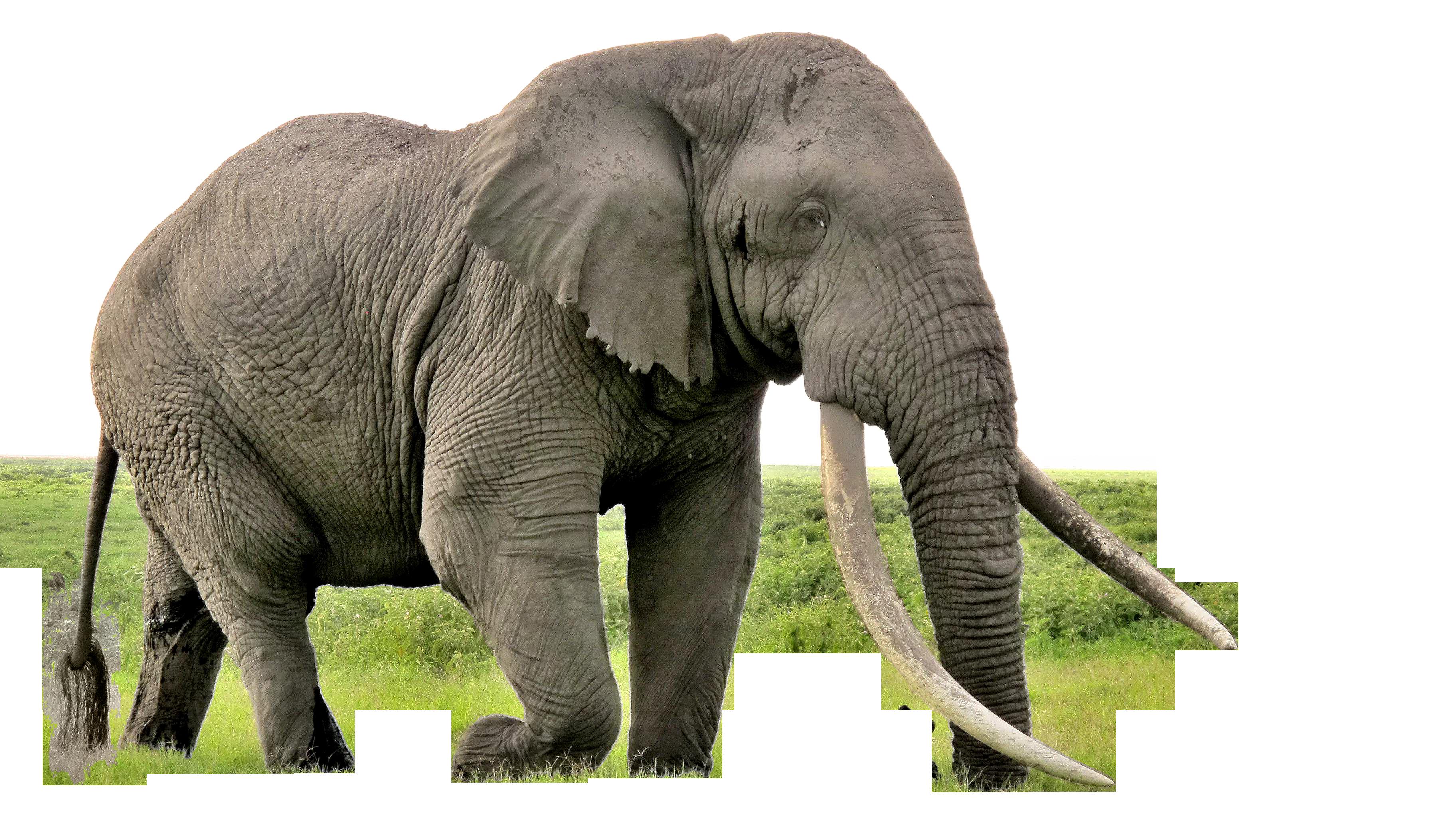 elephant png image 4.