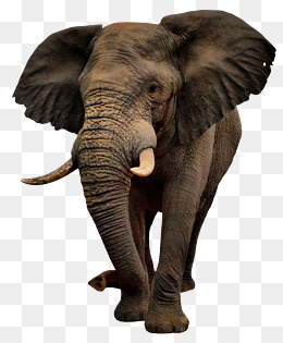 Elephant PNG Images, Download 2,269 Elephant PNG Resources with.