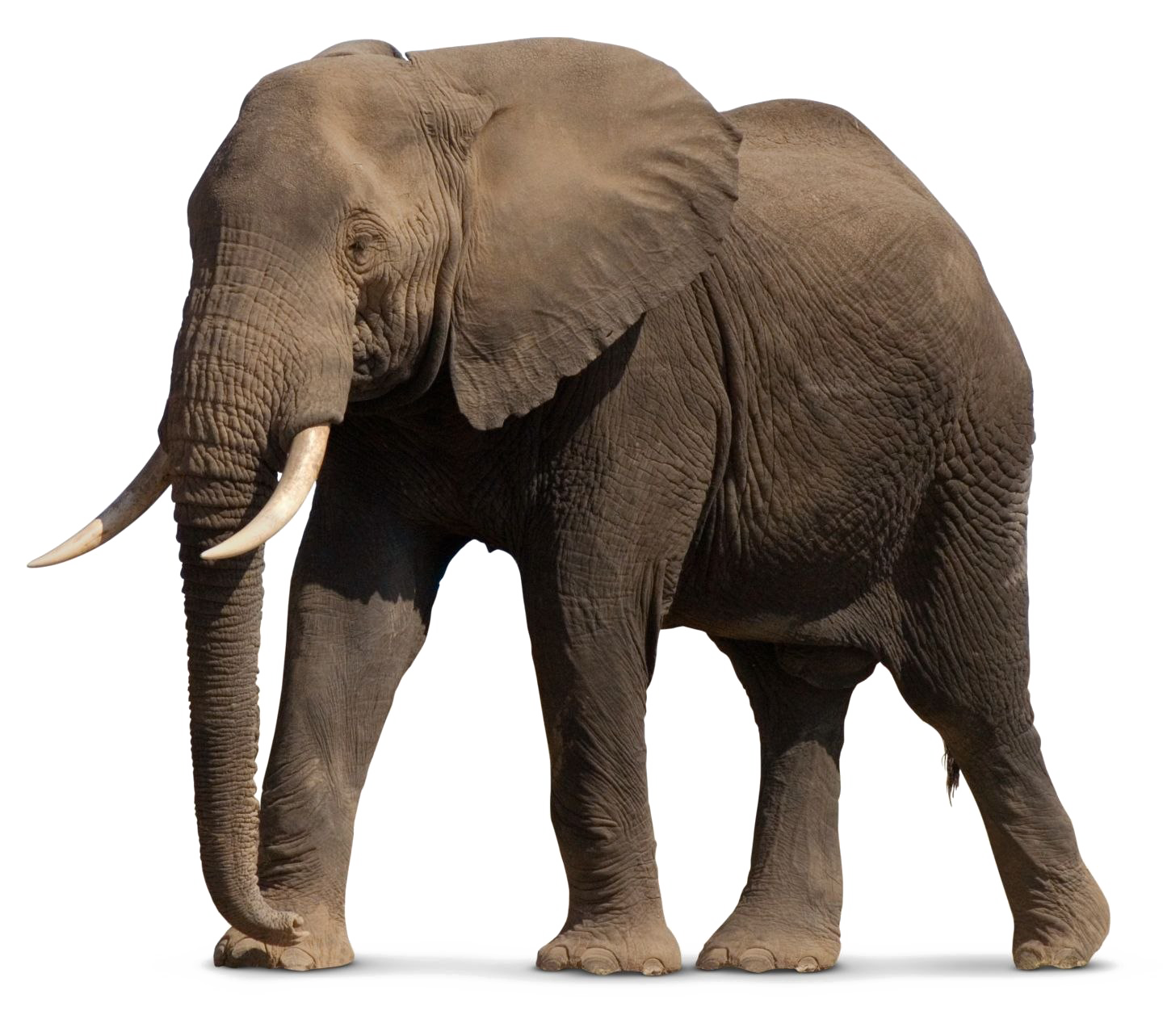 Elephant PNG Images Transparent Free Download.