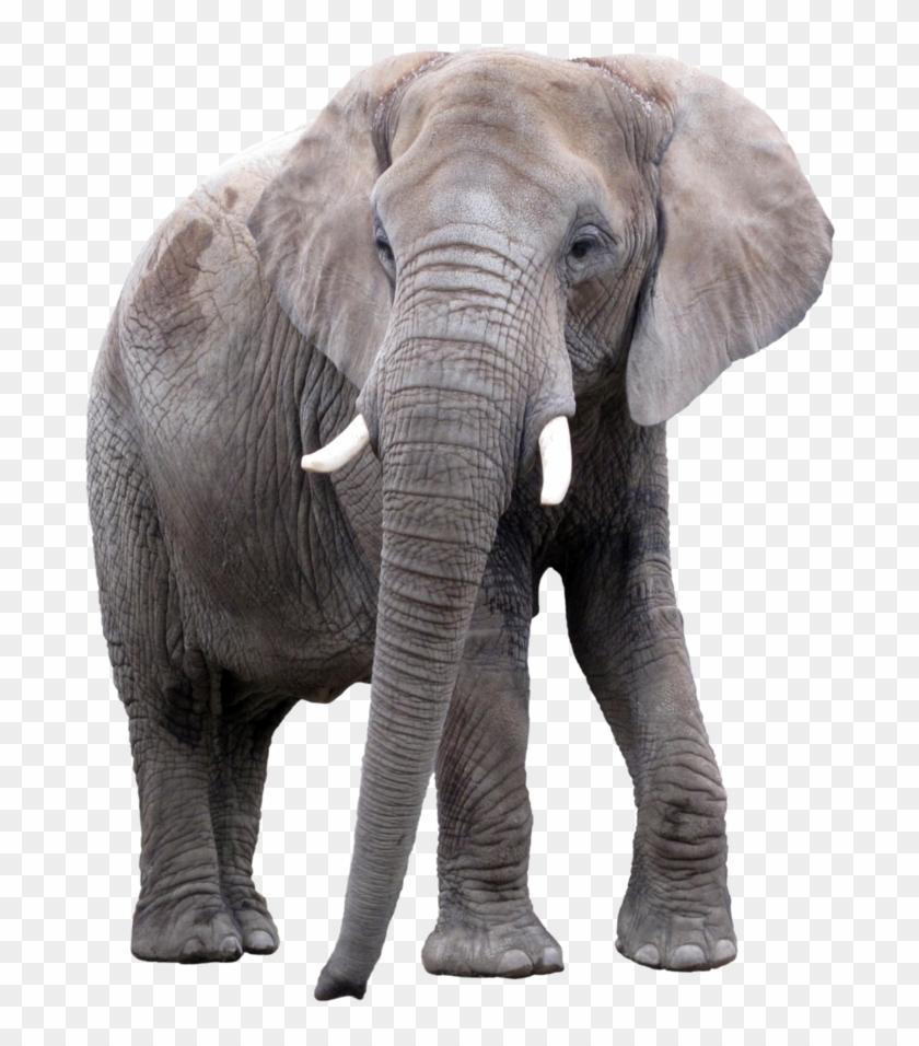 Elephant Png, Transparent Png.