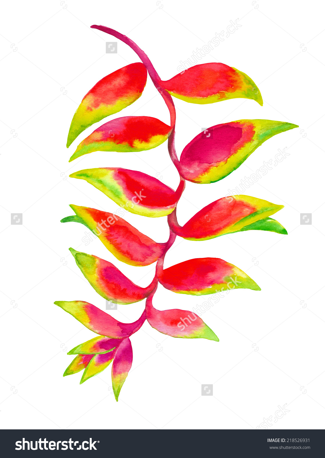 Tropical Flower Heliconia Watercolor Painting Stock Illustration.