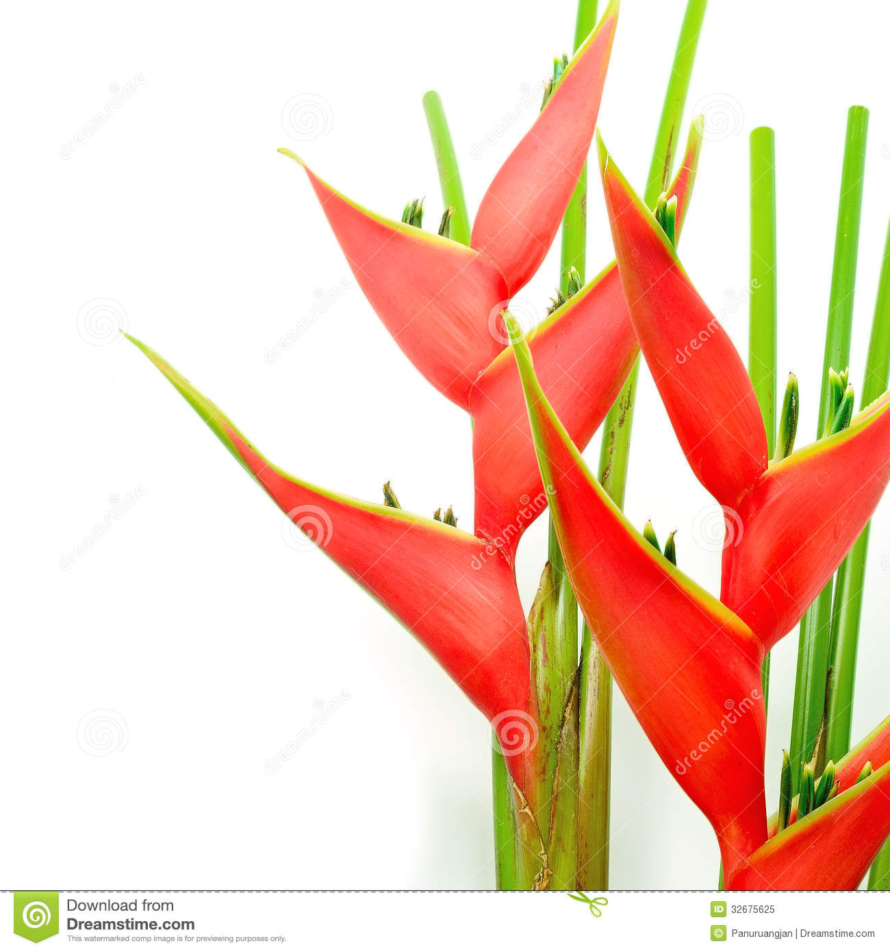 Heliconia Royalty Free Stock Photo.