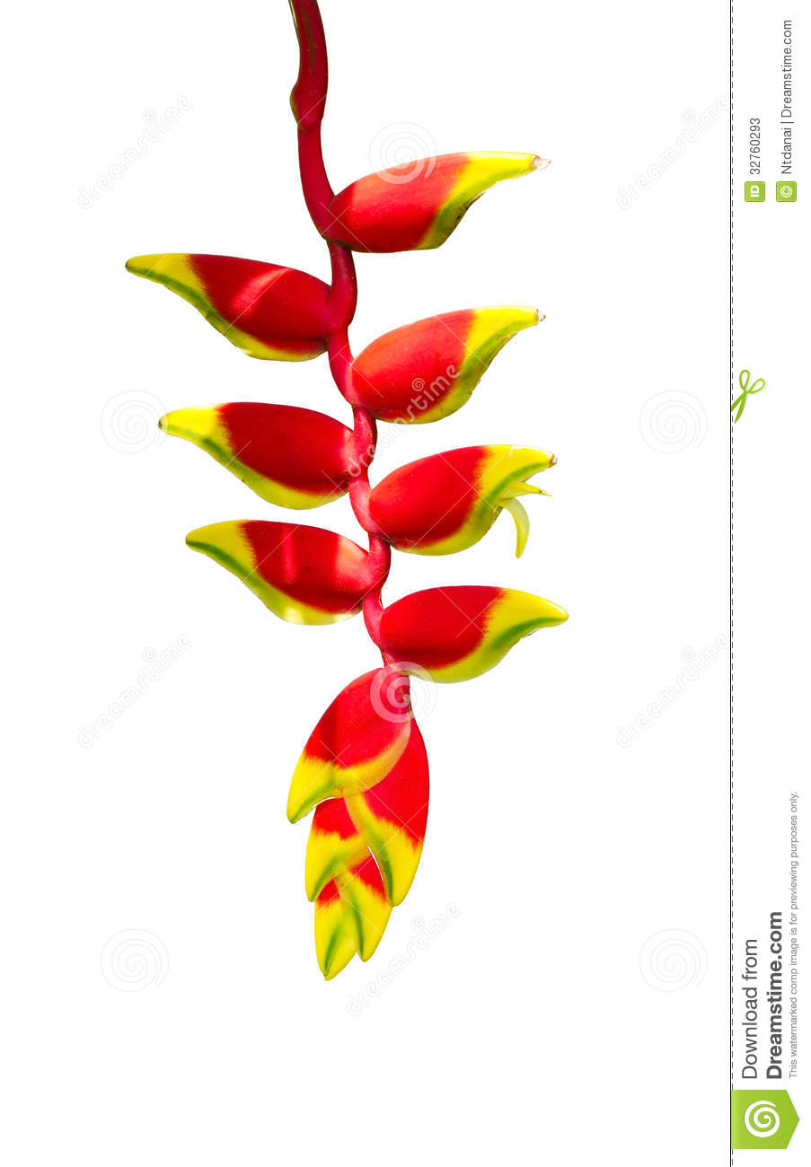 Heliconia Tropics Flower Stock Photos.