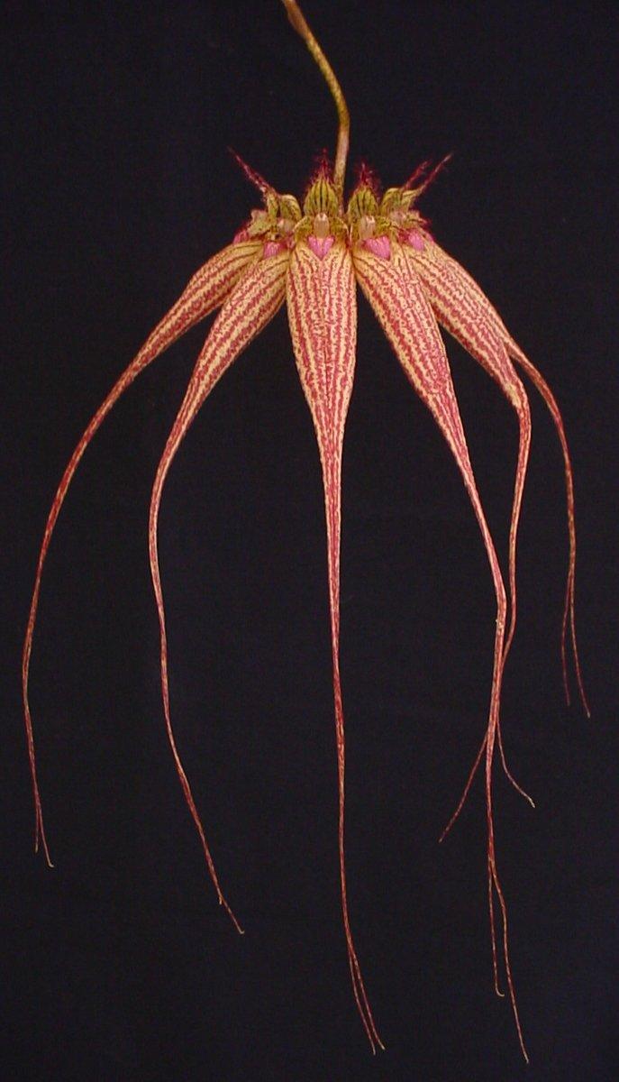 Cirrhopetalum Elizabeth Ann 'Buckleberry' FCC/AOS, Slo Orchids.