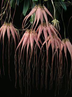 Bulbophyllum Elizabeth Anne 'Buckleberry' FCC/AOS (longissimum x.
