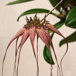 Bulbophyllum Elizabeth Ann Buckleberry.