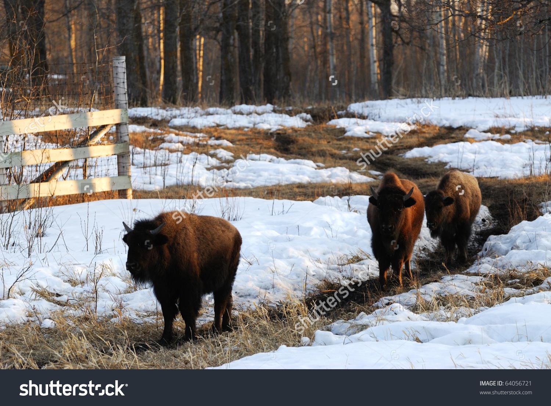 Wild Bison Wandering In Winter Meadowland , Elk Island National.