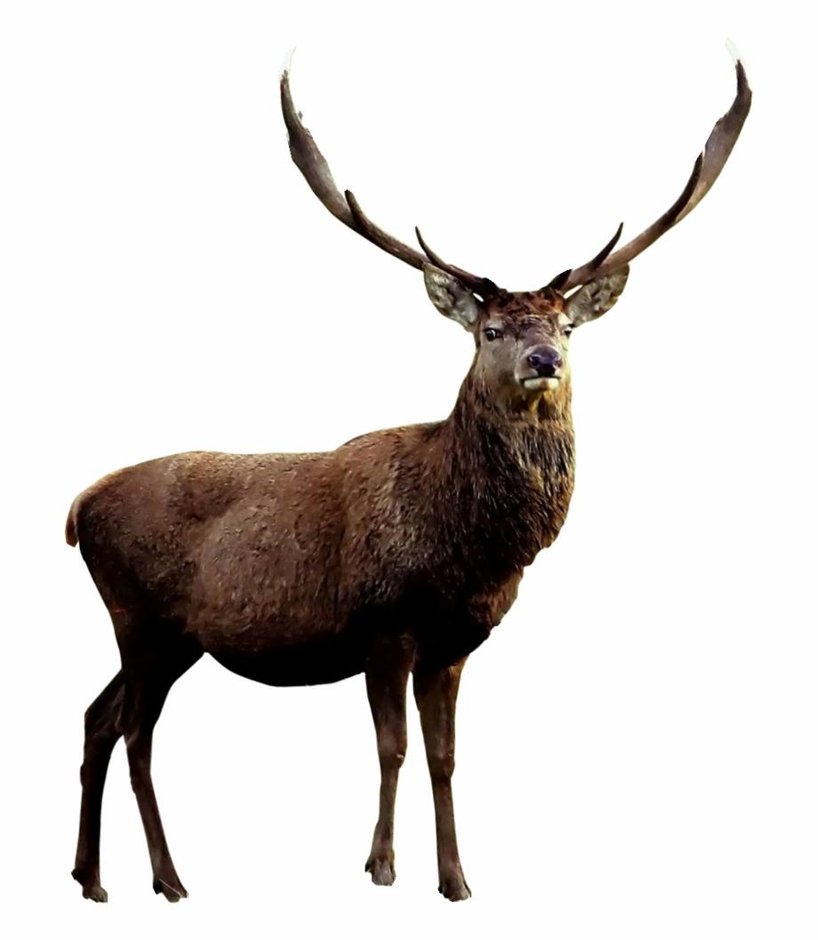 Elk No Background Free PNG Images & Clipart Download #1535314.