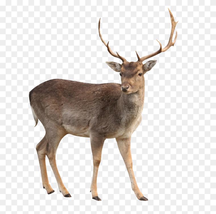 Elk,Wildlife,Musk Deer Transparent PNG.