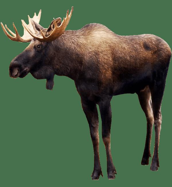 Standing Elk PNG Image.