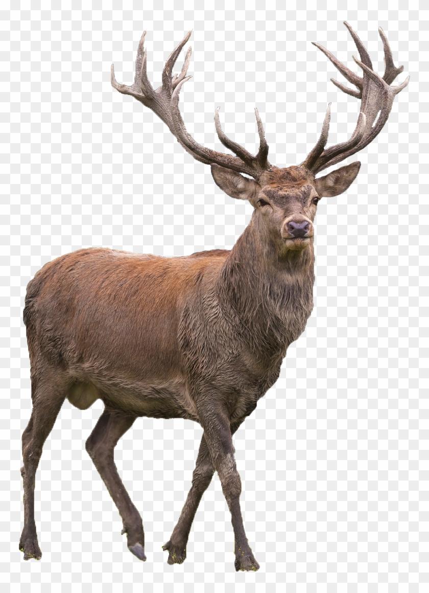 Red Deer Elk Barasingha.