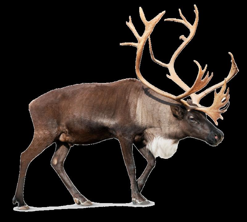 Download Free png Moose, elk PNG, Download PNG image with.
