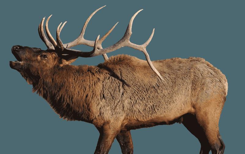 Elk PNG Images.