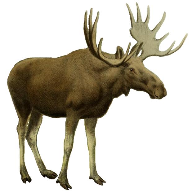 File:The deer of all lands (1898) Elk white background.png.