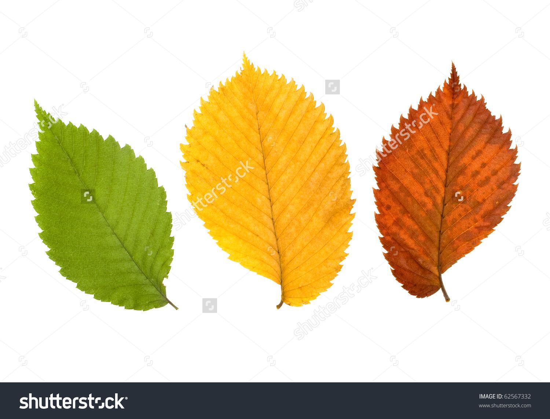 Three Leaves Elm Tree Stock Photo 62567332.