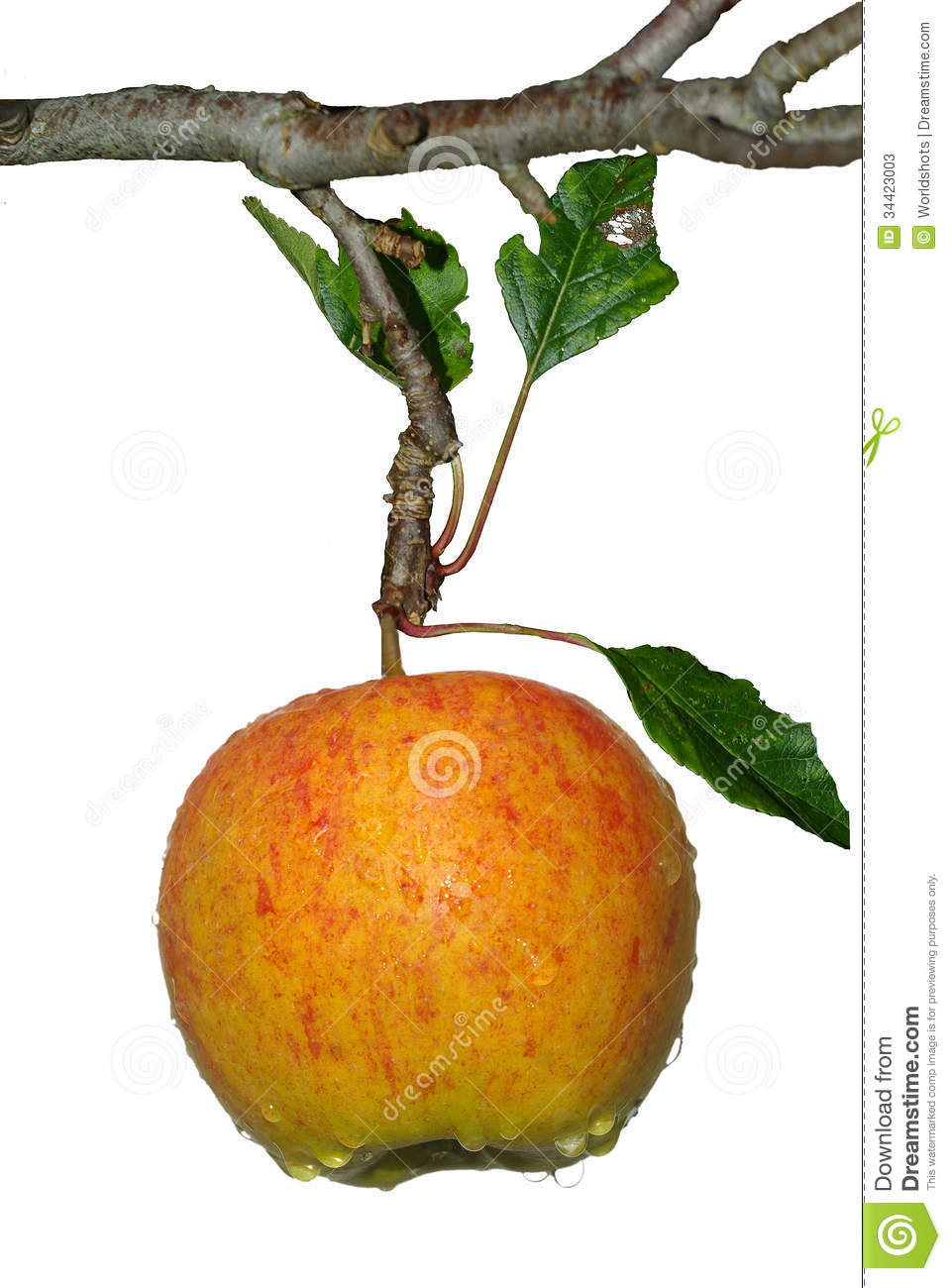 Isolated Hanging Apple Stock Photos.