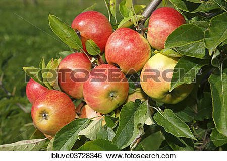 """Stock Images of """"Apples on an apple tree, """"""""""""""""Elstar"""""""""""""""" (Malus."""