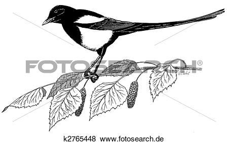 Elster Illustrationen und Clip Art. 138 elster Lizenzfreie.