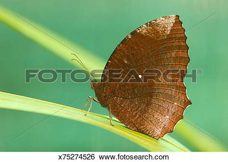 Stock Images of The Common Palmfly (Elymnias hypermnestra agina.