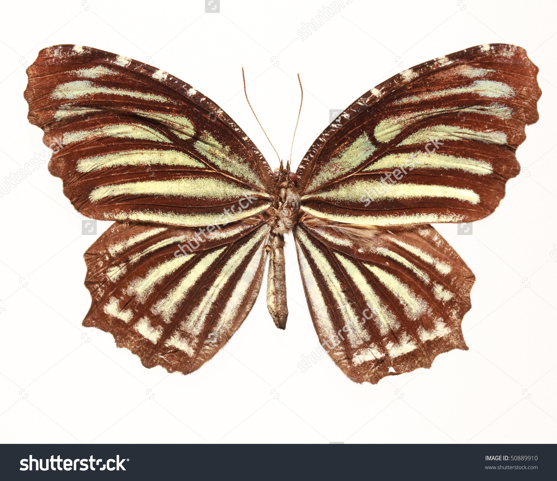 Common Palmfly Butterfly (Elymnias Nesa Lioneli) Stock Photo.