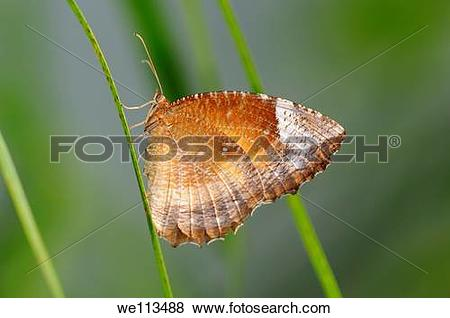 Pictures of Tropical butterfly, Common palmfly, Elymnias.
