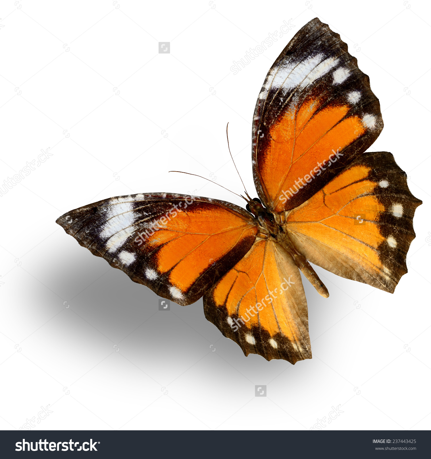 Beautiful Butterfly Common Palmfly Butterfly Upper Stock Photo.
