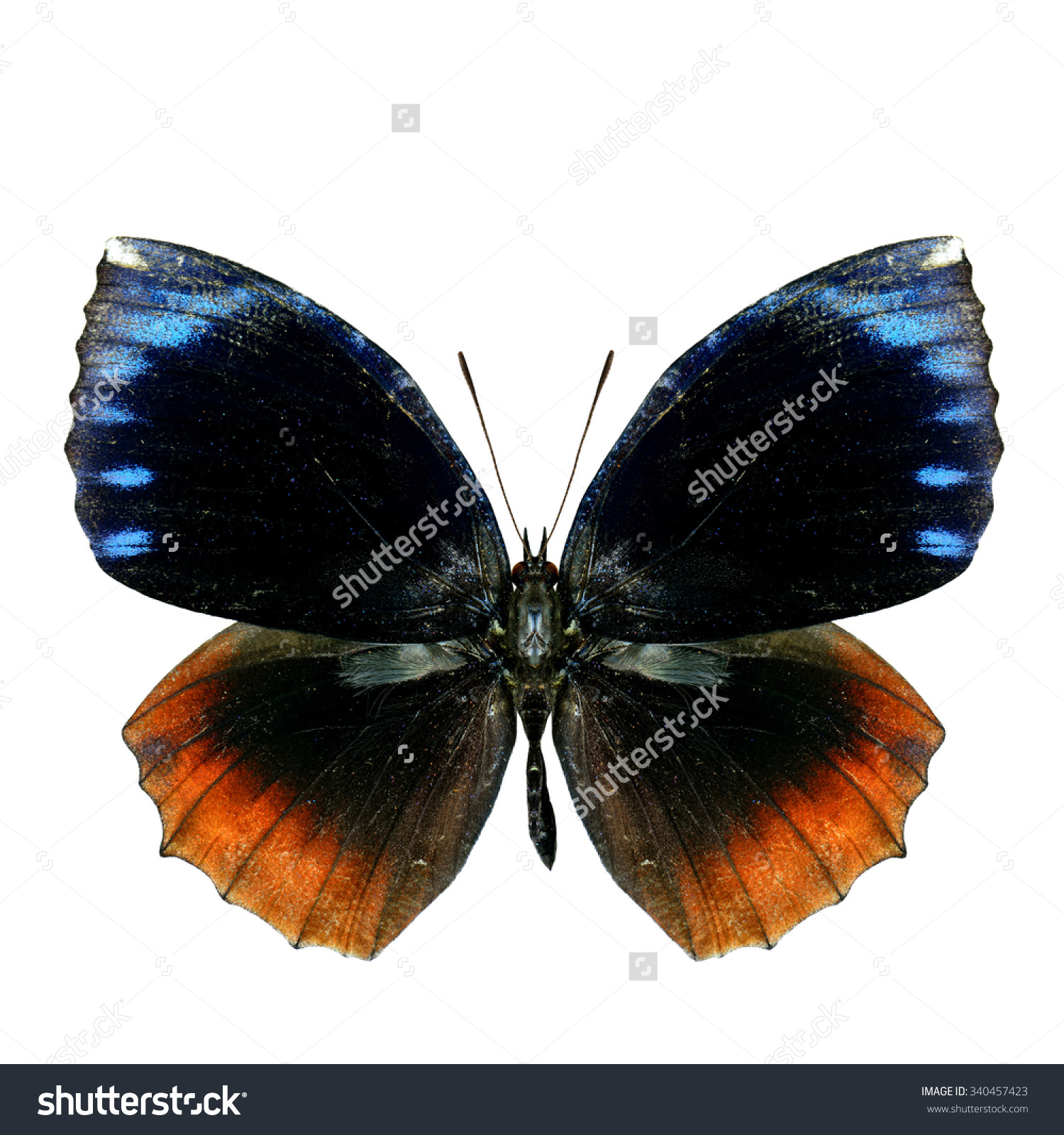 The Beautiful Common Palmfly Butterfly (Elymnias Hypermnestra.