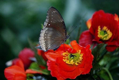 Swallowtail, Butterfly.