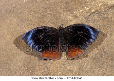 Common Palmfly Stock Photos, Royalty.