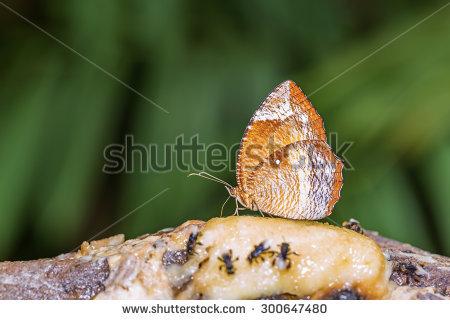 Common Palmfly Banco de imágenes. Fotos y vectores libres de.