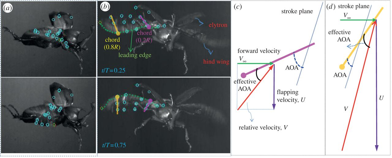 Improvement of the aerodynamic performance by wing flexibility and.