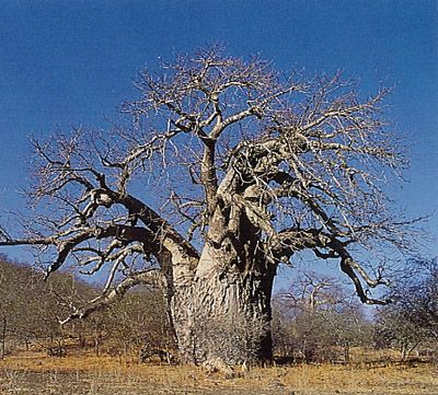 1000+ images about Baobabs on Pinterest.