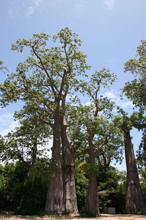 Free photo Agriculture Malawi Organic Tree Embondeiro.