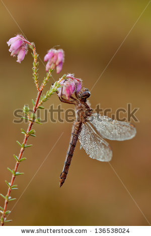Drying Damselfly Stock Photos, Images, & Pictures.