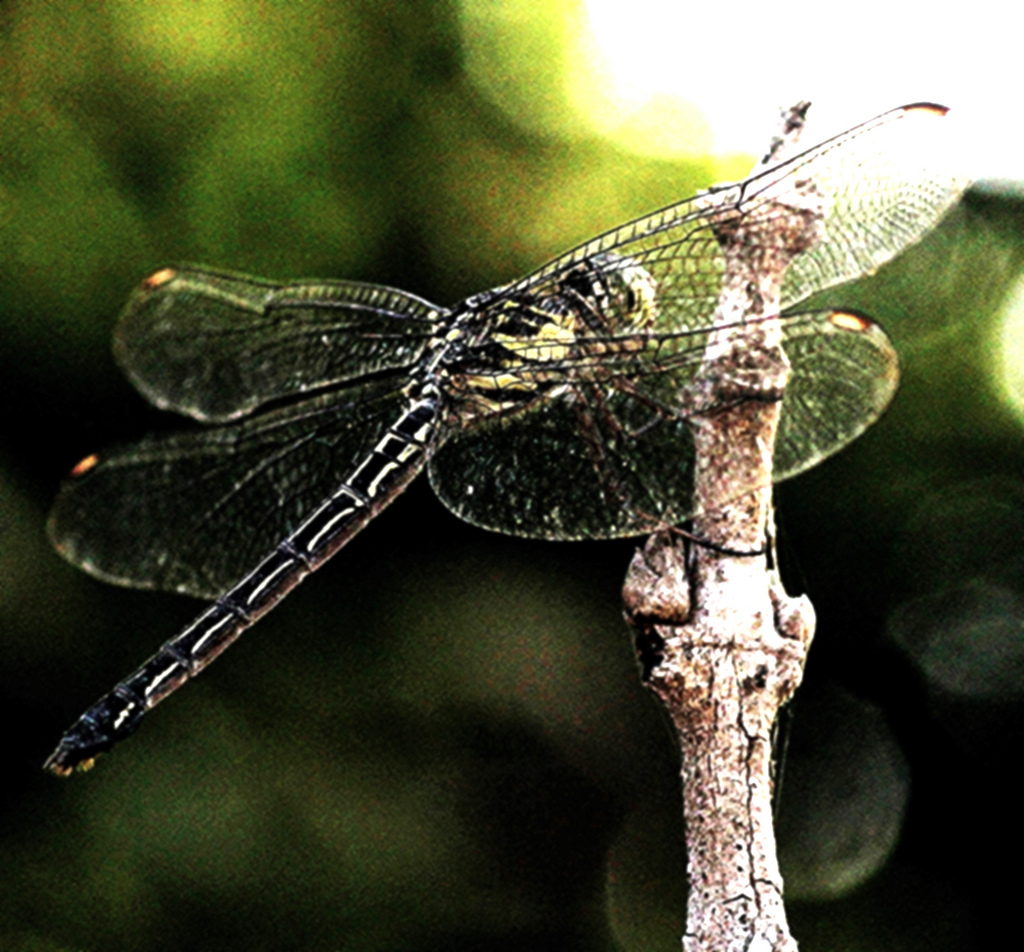 The World's Best Photos of dragonflyindia.